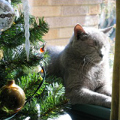 Talisman napping by the Christmas Tree